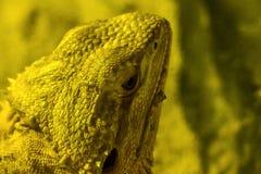 Γενειοφόρος δράκος στο ζωολογικό κήπο στοκ φωτογραφίες με δικαίωμα ελεύθερης χρήσης
