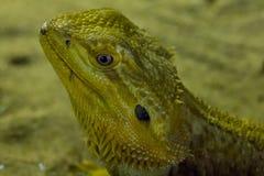 Γενειοφόρος δράκος στο ζωολογικό κήπο στοκ φωτογραφία με δικαίωμα ελεύθερης χρήσης