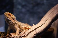 Γενειοφόρος δράκος - pogona vitticeps σε έναν λίθο στοκ φωτογραφία με δικαίωμα ελεύθερης χρήσης