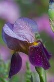 Γενειοφόρος μίσχος της Iris στοκ εικόνες