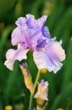 γενειοφόρος πορφύρα ίριδων λουλουδιών Στοκ φωτογραφίες με δικαίωμα ελεύθερης χρήσης