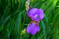 γενειοφόρος πορφύρα ίριδων λουλουδιών Στοκ Φωτογραφία