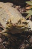 Γενειοφόρος δράκος, έρπον κατοικίδιο ζώο στοκ εικόνες