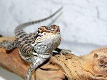 γενειοφόρος δράκος μωρώ&n Στοκ Εικόνα