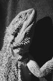 Γενειοφόρος δράκος που αναρριχείται επάνω στον ήλιο στοκ εικόνες με δικαίωμα ελεύθερης χρήσης