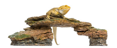 Γενειοφόρος δράκος που σκαρφαλώνει σε μια πέτρα, Pogona vitticeps στοκ εικόνες
