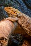 Γενειοφόρος δράκος που στηρίζεται σε ένα κούτσουρο στοκ εικόνα με δικαίωμα ελεύθερης χρήσης