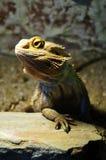 γενειοφόρος δράκος στοκ φωτογραφίες με δικαίωμα ελεύθερης χρήσης