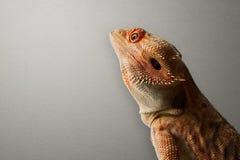 γενειοφόρος δράκος Στοκ φωτογραφία με δικαίωμα ελεύθερης χρήσης