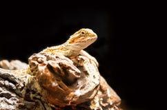 Γενειοφόρος δράκος Στοκ εικόνα με δικαίωμα ελεύθερης χρήσης