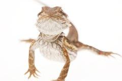 γενειοφόρο λευκό δράκων στοκ φωτογραφίες με δικαίωμα ελεύθερης χρήσης