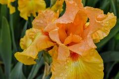 Γενειοφόρο λουλούδι της Iris παρόδων πενών Στοκ Φωτογραφίες
