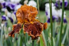 Γενειοφόρο λουλούδι της Iris Rustler Στοκ Εικόνες