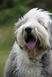 γενειοφόρο σκυλί κόλλεϊ αστείο Στοκ εικόνα με δικαίωμα ελεύθερης χρήσης