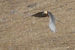 Γενειοφόρο barbatus Gypaetus γύπων γνωστό επίσης ως Lammergeier ή γενειοφόρος γύπας που πετά στην Κίνα Στοκ Εικόνα