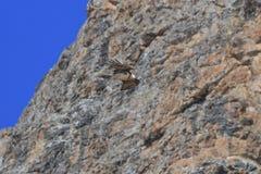 Γενειοφόρο barbatus gypaetus γύπων γνωστό επίσης ως Lammergeier ή γενειοφόρος γύπας στην Κίνα Στοκ φωτογραφίες με δικαίωμα ελεύθερης χρήσης