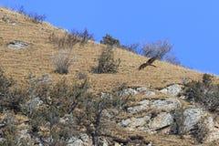 Γενειοφόρο barbatus gypaetus γύπων γνωστό επίσης ως Lammergeier ή γενειοφόρος γύπας στην Κίνα Στοκ Φωτογραφίες