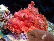 Γενειοφόρο Scorpianfish Στοκ Φωτογραφία