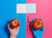 Γενετικά τροποποιημένη ντομάτα στη ρόδινη ή φυσική κόκκινη Apple στο μπλε Έννοια ΓΤΟ Στοκ Εικόνες