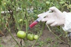 Γενετικά τροποποιημένο λαχανικό Στοκ εικόνες με δικαίωμα ελεύθερης χρήσης