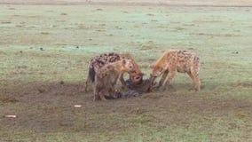 Γενιά των hyenas που τρώει το carrion στη σαβάνα στην Αφρική απόθεμα βίντεο