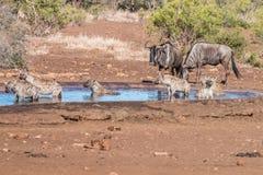 Γενιά Hyenas σε ένα waterhole με Wildebeests στοκ φωτογραφία