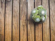 Γενικά έξοδα ενός succulent sempervivum ιστών αράχνης houseleek αραχνοειδούς Στοκ Εικόνα