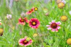 γενικά λουλούδια Ινδός Στοκ Φωτογραφία