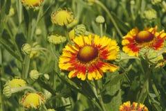 Γενικά λουλούδια (aristata Gaillardia) Στοκ φωτογραφίες με δικαίωμα ελεύθερης χρήσης