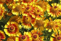 Γενικά λουλούδια (aristata Gaillardia) Στοκ φωτογραφία με δικαίωμα ελεύθερης χρήσης