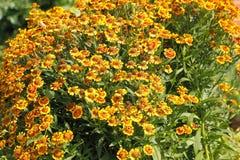 Γενικά λουλούδια (aristata Gaillardia) Στοκ εικόνα με δικαίωμα ελεύθερης χρήσης