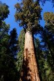 Γενική επιχορήγηση - το μεγαλύτερο Sequoia Στοκ εικόνα με δικαίωμα ελεύθερης χρήσης