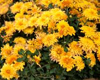 Γενικό λουλούδι βερίκοκων της Αριζόνα aristata Gaillardia Στοκ Εικόνες