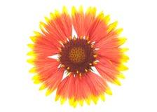 γενικό λουλούδι Στοκ Εικόνα