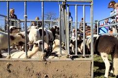 γεννημένα αρνιών πρόβατα πεννών μετάλλων νέα Στοκ Φωτογραφία