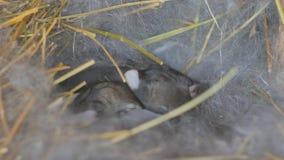 Γεννημένα κουνέλια Νέα κουνέλια στη φωλιά απόθεμα βίντεο