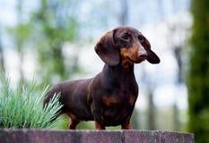 Γεννημένο χρώμα σκυλιών Dachshund Στοκ Φωτογραφίες