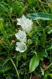 Γεντιανή λουλουδιών στοκ εικόνα με δικαίωμα ελεύθερης χρήσης