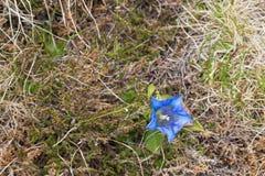 Γεντιανό, αλπικό λουλούδι στην έντονη μπλε ανάπτυξη στις Άλπεις στο Α Στοκ εικόνα με δικαίωμα ελεύθερης χρήσης