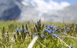 Γεντιανό λουλούδι γεντιανών άνοιξη verna στο ιταλικό τοπίο Adamello ορών Στοκ Εικόνες