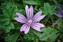 Γεντιανό λουλούδι verna Στοκ φωτογραφία με δικαίωμα ελεύθερης χρήσης