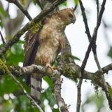 Γεράκι-αετός Wallace Στοκ Φωτογραφία
