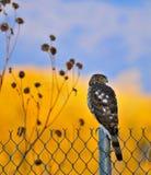 γεράκι βαρελοποιών Στοκ εικόνες με δικαίωμα ελεύθερης χρήσης