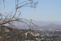 Γεράκι Καλιφόρνιας σε ένα δέντρο Στοκ φωτογραφίες με δικαίωμα ελεύθερης χρήσης
