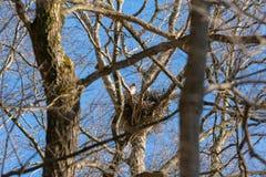 Γεράκι μητέρων που σκαρφαλώνει στη φωλιά της, υψηλή επάνω από το δάσος στοκ εικόνα με δικαίωμα ελεύθερης χρήσης