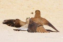 Πάλη πουλιού στοκ εικόνες