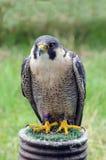 Γεράκι πετριτών - πουλί του θηράματος - που στηρίζεται στη στάση Στοκ Φωτογραφίες