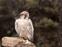 Γεράκι πουλιών που προσέχει το θήραμά του στοκ εικόνες με δικαίωμα ελεύθερης χρήσης