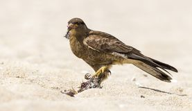 Γεράκι που τρώει το κυνήγι του στην παραλία στοκ εικόνα με δικαίωμα ελεύθερης χρήσης