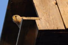 Γεράκι στο κρύψιμο Στοκ Εικόνα